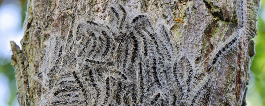 Eichenprozessionsspinnerraupen An Baumstamm