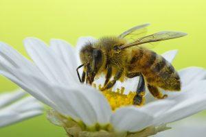 Biene bienenfreundlich