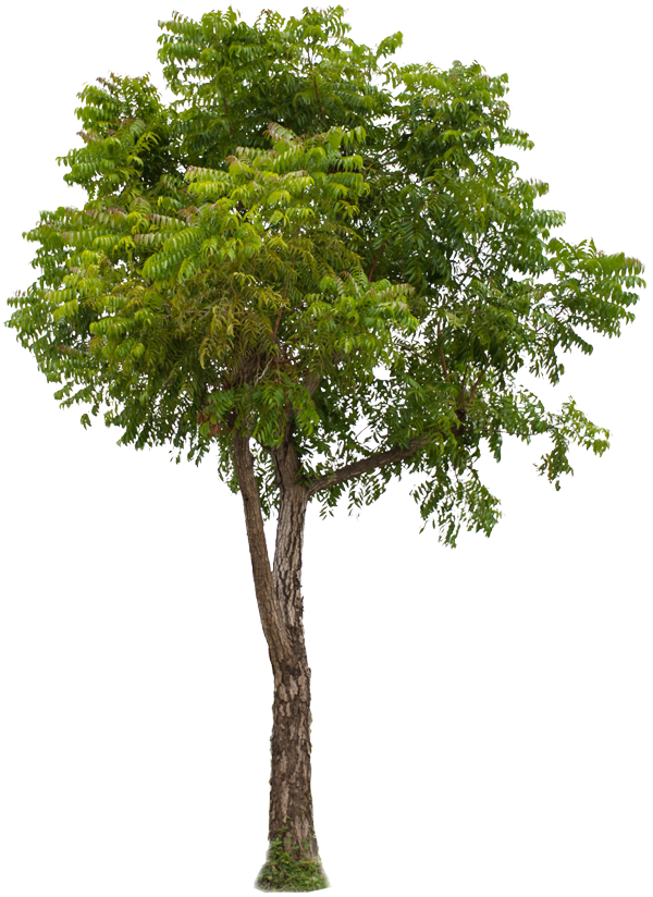 Neem Baum